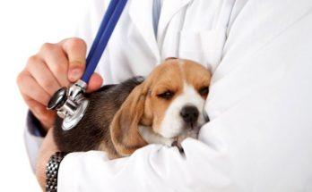 Como-Saber-si-tu-Perro-tiene-Parvovirus